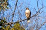 North Fork Hawk
